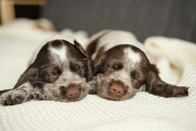 Schattige twee russische spaniel bruin merle puppy hondje liegen en slapen op witte geruite bank. broers en zussen. gelukkig gezin. zoet.