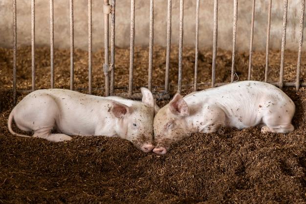 Schattige varkens in biologische boerderij landbouw. vee-industrie