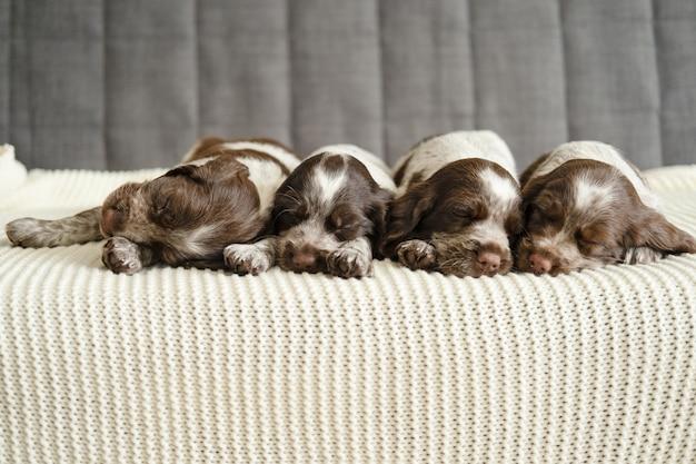 Schattige vier russische spaniel bruin merle puppy hondje liegen en slapen op witte geruite bank. broers en zussen. gelukkig gezin. zoet.