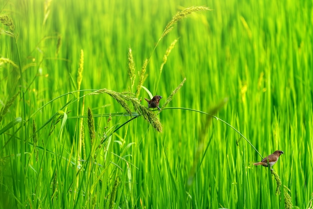 Schattige vogeltjes in groene rijstvelden