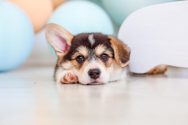 Schattige welsh corgi puppy met ballonnen