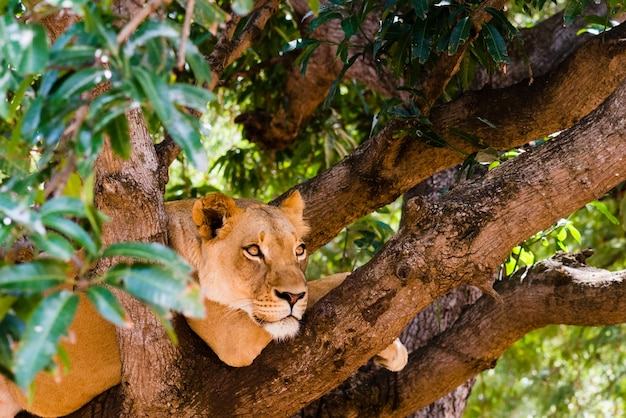 Schattige wilde leeuwin op de boom in het bos