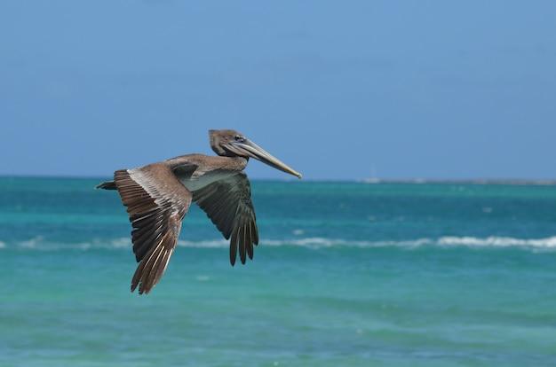Schattige wilde pelikaan die door de warme caribische lucht vliegt