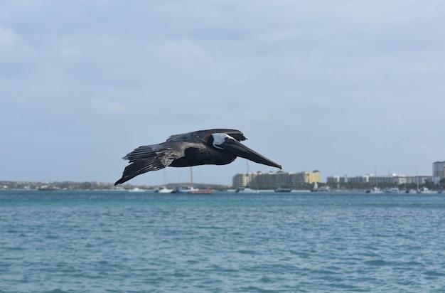 Schattige wilde pelikaan die in de lucht vliegt