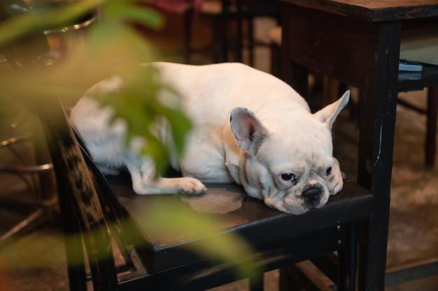 Schattige witte franse bulldog liggend en kijken op een stoel