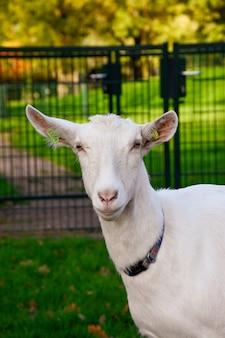 Schattige witte geit buitenshuis