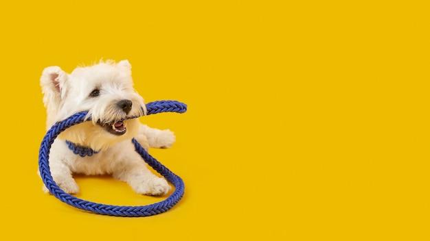 Schattige witte hond geïsoleerd op geel