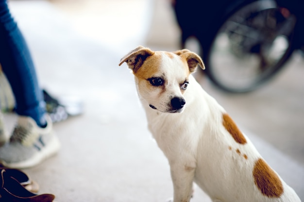 Schattige witte hond wacht op de baas om naar huis terug te keren. ik zit overdag in de voorkant van het huis.