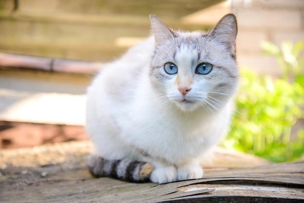 Schattige witte kat met blauwe ogen die in de zomer in de tuin zit