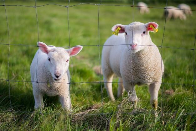 Schattige witte schapen die de wereld observeren achter een hek