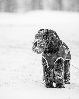 Schattige zwarte binnenlandse schnoodle hond spelen in de sneeuw