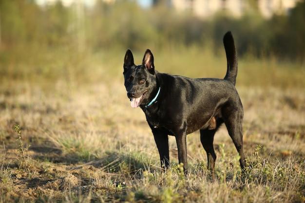 Schattige zwarte hollandse herdershond met blauwe kraag die op het veld loopt met groen gras