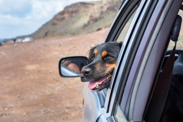 Schattige zwarte hond kijkt uit het autoraam