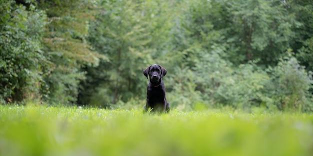 Schattige zwarte labrador retriever pup zittend in het groene gras buiten met bos op de achtergrond.