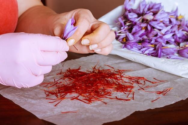 Scheiding van saffraandraden van de rest van de bloem.