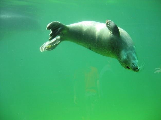 Schepsel robbe zeehond zee huisdieren noorden zwemmen water
