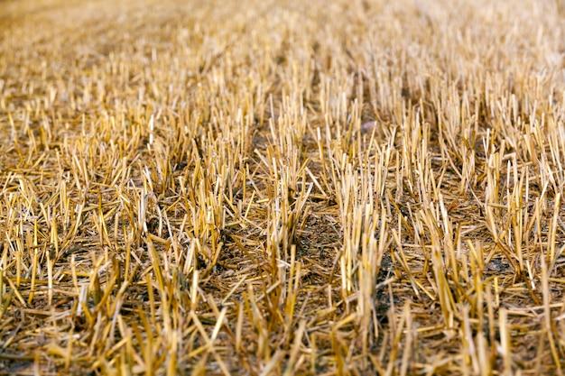Scherpe en stekelige doornen van de afgesneden stengels van tarwe tijdens de oogst van granen