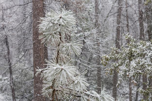 Schilderachtig besneeuwd bos in de winter. goed voor kerst achtergrond.