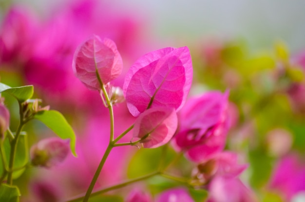 Schilderachtige bougainvillea-bloemen groeien in egypte.