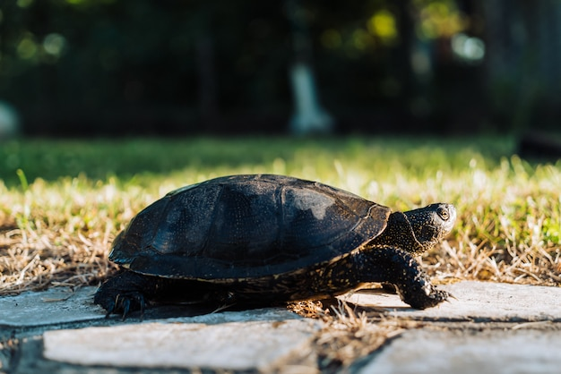 Schildpad die op gras loopt.