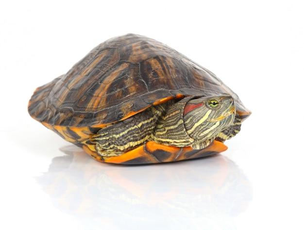 Schildpad die uit zijn schelp komt