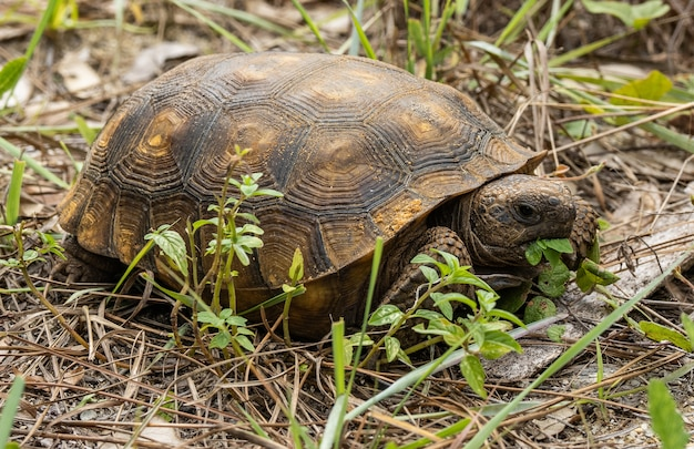 Schildpad genietend van zijn lunch onder het licht
