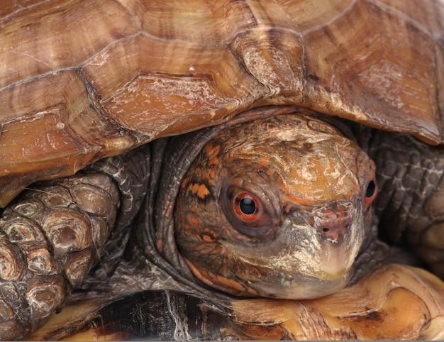 Schildpad hoofd close-up