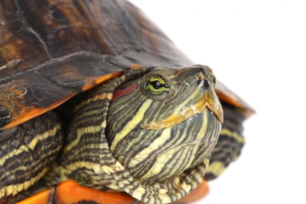 Schildpad hoofd
