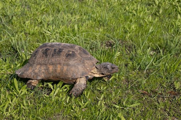 Schildpad in athene, griekenland, op de bezienswaardigheden van akropolis monument op groen gras