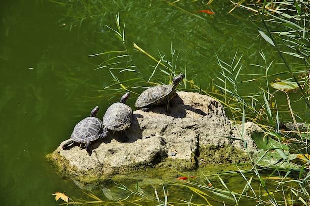 Schildpad in eram-tuin van shiraz-stad, iran