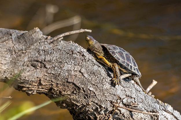 Schildpad in het natuurpark van de moerassen