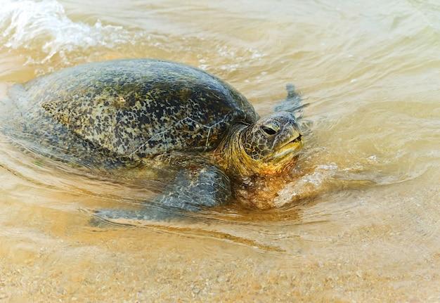 Schildpad in het wild op het eiland sri lanka
