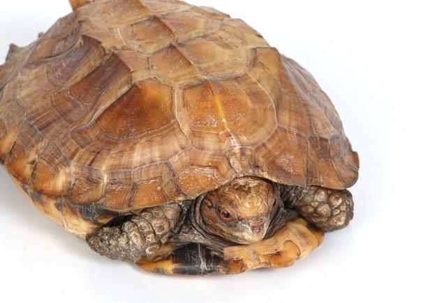 Schildpad in zijn schelp