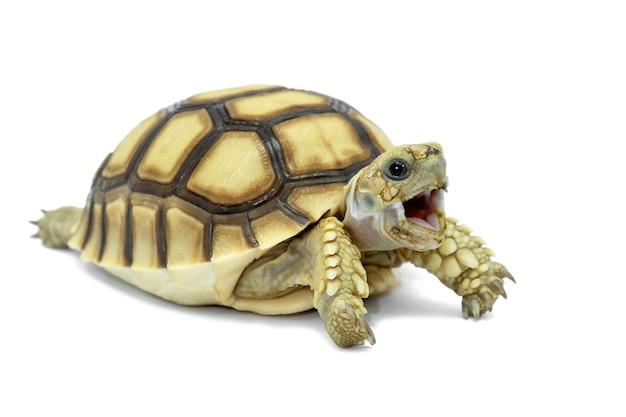 Schildpad op een witte achtergrond wordt geïsoleerd die