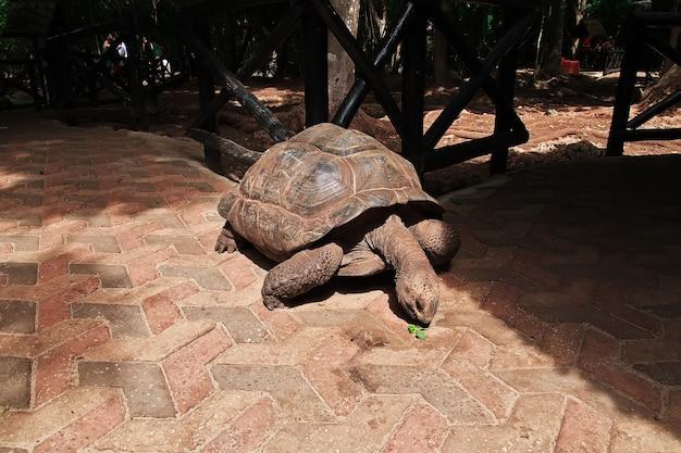Schildpad op gevangeniseiland zanzibar, tanzania