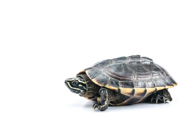 Schildpad op isolate witte achtergrond
