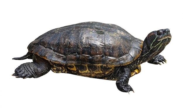 Schildpad op witte achtergrond wordt geïsoleerd die