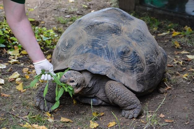 Schildpad. reuze galapagos-schildpad die gras eet de dierentuin van londen.