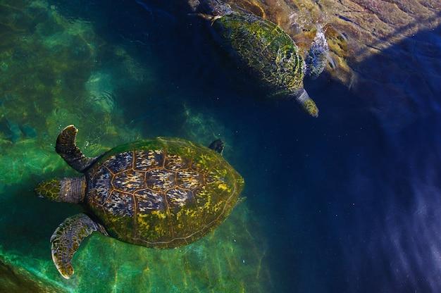 Schildpadden in het water op de rode zee
