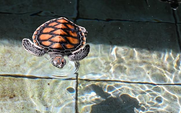 Schildpadoverzees in het aquarium van thailand.