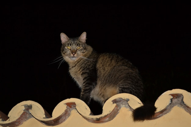 Schildwacht grijze kat