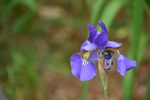 Schitterende bloeiende siberische irisbloem in een tuin.