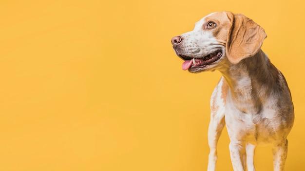 Schitterende hond die weg met exemplaarruimte kijkt