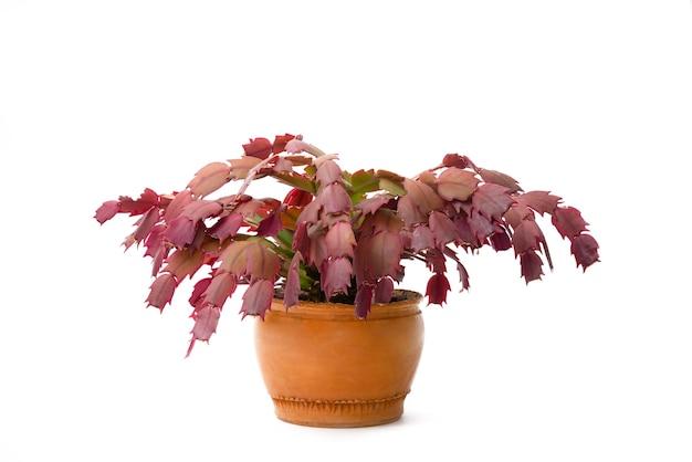 Schlumbergera of kerst cactus plant in betonnen pot geïsoleerd op een witte achtergrond.
