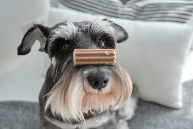 Schnauzer-rashond ontvangt een prijs voor zijn goede gedrag