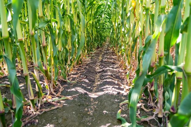 Schone tussenruimte van maïsstengels tijdens droge periodes