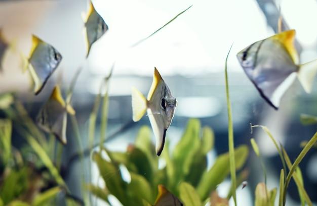 School van maanachtige vissen in een tank