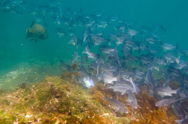 School van vissen onderwater zwemmen, tagus cove, isabela island, galapagos eilanden, ecuador