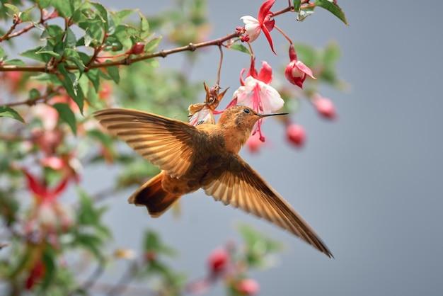 Schoonheid kolibrie klampt zich vast aan een bloem