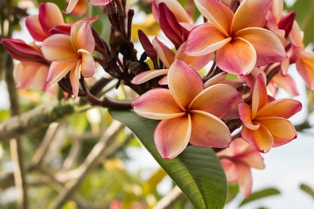 Schoonheid roze plumeria bloemen